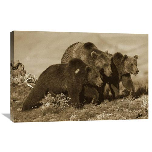 Global Gallery Grizzly Bear Mother With Two One Year Old Cubs, North America By Tim Fitzharris, 24 X 36-Inch Wall Art