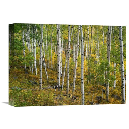 Global Gallery Aspen Forest, Colorado By Tim Fitzharris, 12 X 16-Inch Wall Art
