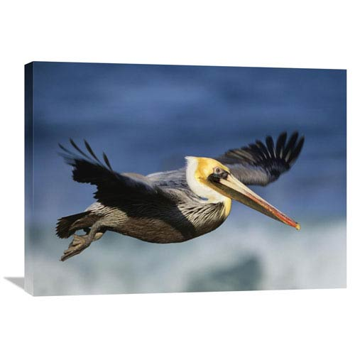 Global Gallery Brown Pelican Flying, North America By Tim Fitzharris, 24 X 32-Inch Wall Art