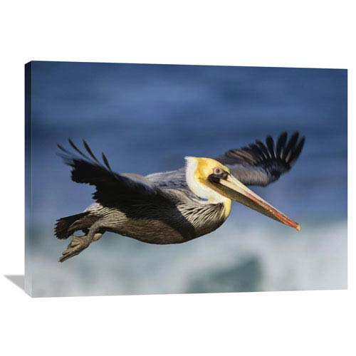 Global Gallery Brown Pelican Flying, North America By Tim Fitzharris, 30 X 40-Inch Wall Art