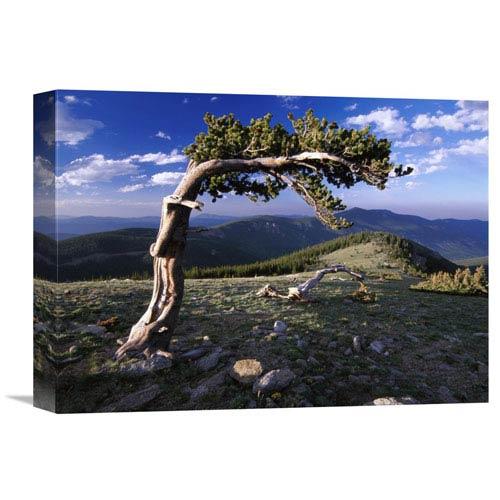 Global Gallery Bristlecone Pine, Mt Evans, Colorado By Tim Fitzharris, 12 X 16-Inch Wall Art