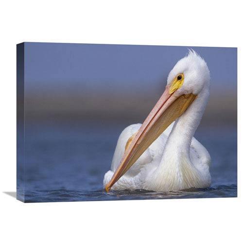 Global Gallery American White Pelican North America By Tim Fitzharris, 18 X 24-Inch Wall Art