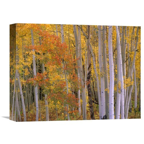 Global Gallery Aspens At Independence Pass, Colorado By Tim Fitzharris, 12 X 16-Inch Wall Art