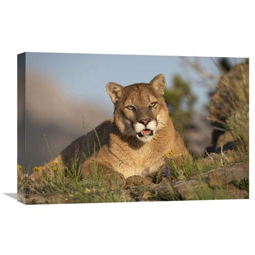 Global Gallery Mountain Lion Portrait, North America By Tim Fitzharris, 16 X 24-Inch Wall Art