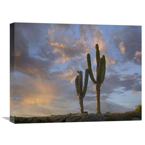 Global Gallery Saguaro Cacti, Cabo San Lucas, Mexico By Tim Fitzharris, 18 X 24-Inch Wall Art