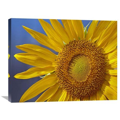 Global Gallery Common Sunflower Flower, North America By Tim Fitzharris, 24 X 32-Inch Wall Art