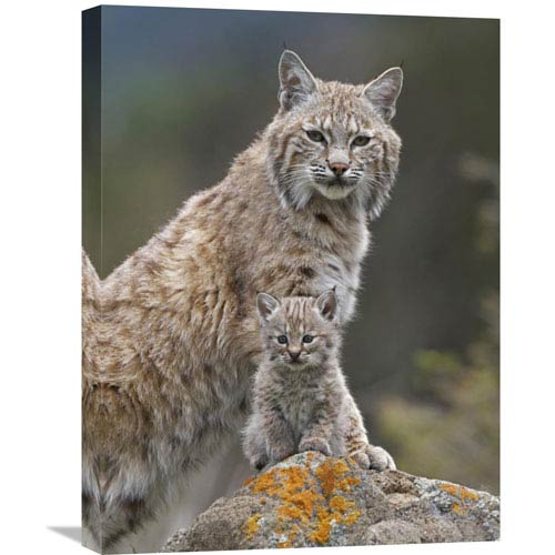 Global Gallery Bobcat Mother And Kitten, North America By Tim Fitzharris, 24 X 18-Inch Wall Art