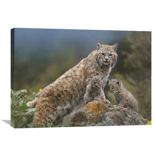 Global Gallery Bobcat Mother And Kittens, North America By Tim Fitzharris, 24 X 32-Inch Wall Art