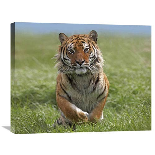 Global Gallery Siberian Tiger Running, Native To Russia By Tim Fitzharris, 22 X 28-Inch Wall Art