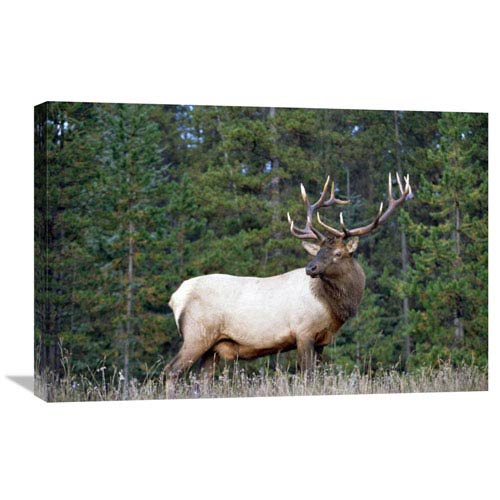 Global Gallery Elk Or Wapiti Male Portrait, North America By Tim Fitzharris, 20 X 30-Inch Wall Art