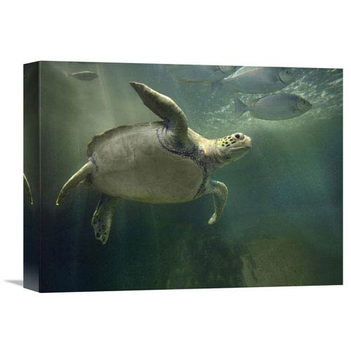 Global Gallery Green Sea Turtle And Fish, Sabah, Malaysia By Tim Fitzharris, 12 X 16-Inch Wall Art