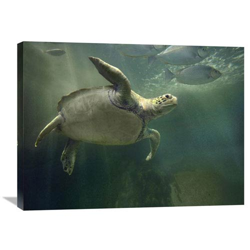 Global Gallery Green Sea Turtle And Fish, Sabah, Malaysia By Tim Fitzharris, 24 X 32-Inch Wall Art