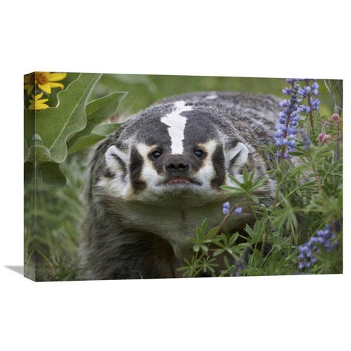 Global Gallery American Badger Amid Lupine, North America By Tim Fitzharris, 16 X 24-Inch Wall Art