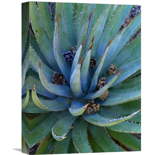 Global Gallery Agave Plants With Pine Cones, North America By Tim Fitzharris, 16 X 12-Inch Wall Art