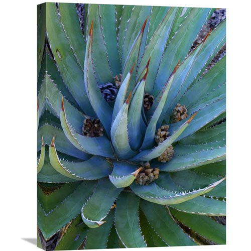 Global Gallery Agave Plants With Pine Cones, North America By Tim Fitzharris, 24 X 18-Inch Wall Art