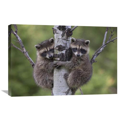 Global Gallery Raccoon Two Babies Climbing Tree, North America By Tim Fitzharris, 20 X 30-Inch Wall Art