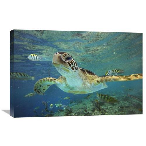 Global Gallery Green Sea Turtle, Balicasag Island, Philippines By Tim Fitzharris, 20 X 30-Inch Wall Art