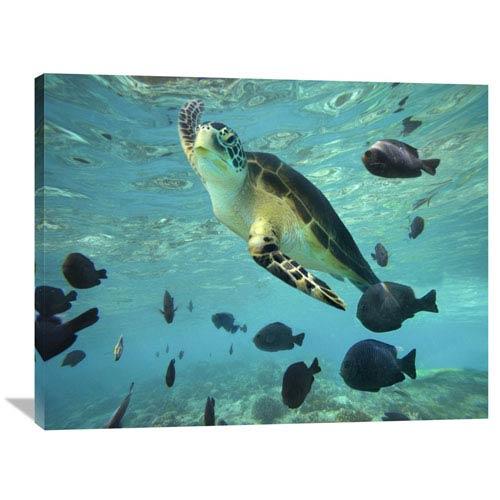 Global Gallery Green Sea Turtle, Balicasag Island, Philippines By Tim Fitzharris, 30 X 40-Inch Wall Art