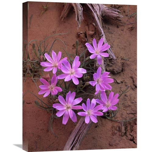 Global Gallery Desert Chicory Close Up Of Bloom, North America By Tim Fitzharris, 24 X 18-Inch Wall Art