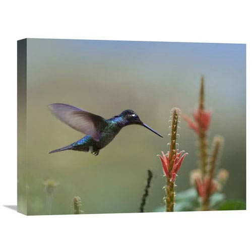 Global Gallery Magnificent Hummingbird Male Foraging, Costa Rica By Tim Fitzharris, 16 X 20-Inch Wall Art