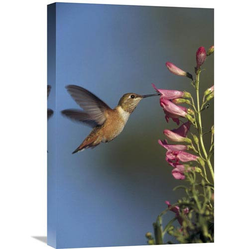 Global Gallery Rufous Hummingbird Feeding On Flowers, New Mexico By Tim Fitzharris, 24 X 16-Inch Wall Art