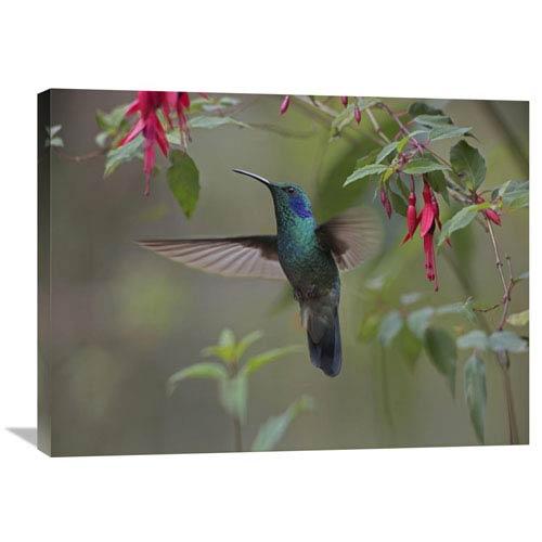 Global Gallery Green Violet Ear Hummingbird Foraging, Costa Rica By Tim Fitzharris, 24 X 32-Inch Wall Art