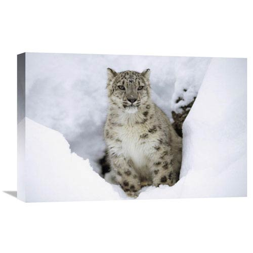 Global Gallery Snow Leopard Adult Portrait In Snow, Native To Asia By Tim Fitzharris, 16 X 24-Inch Wall Art