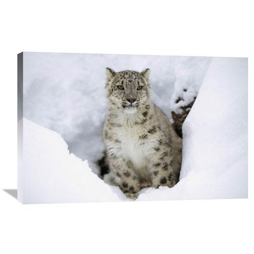 Global Gallery Snow Leopard Adult Portrait In Snow, Native To Asia By Tim Fitzharris, 24 X 36-Inch Wall Art