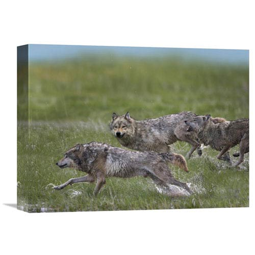 Global Gallery Gray Wolf Trio Running Through Water, North America By Tim Fitzharris, 12 X 16-Inch Wall Art
