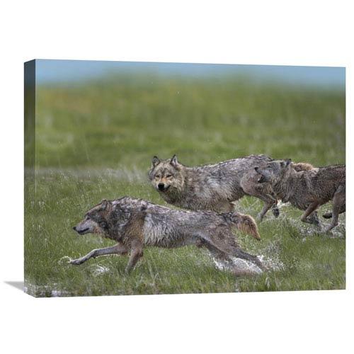 Global Gallery Gray Wolf Trio Running Through Water, North America By Tim Fitzharris, 18 X 24-Inch Wall Art