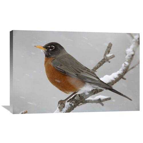 Global Gallery American Robin Perching In Snow Storm, North America By Tim Fitzharris, 24 X 36-Inch Wall Art