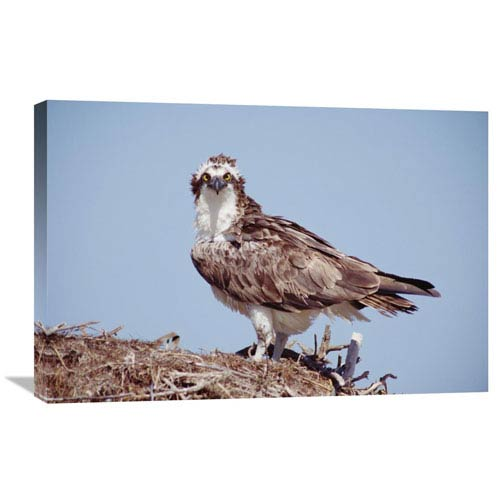 Global Gallery Osprey Adult Perching On Nest, Baja California, Mexico By Tim Fitzharris, 20 X 30-Inch Wall Art
