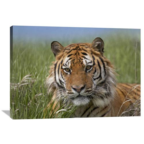 Global Gallery Siberian Tiger Portrait, Endangered, Native To Siberia By Tim Fitzharris, 30 X 40-Inch Wall Art