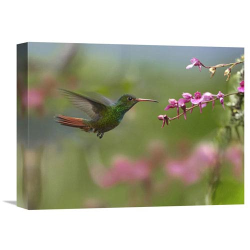 Global Gallery Rufous Tailed Hummingbird Hovering Near Flower, Ecuador By Tim Fitzharris, 12 X 16-Inch Wall Art