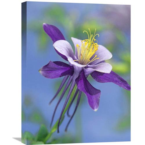 Global Gallery Colorado Blue Columbine Close Up Of Bloom, North America By Tim Fitzharris, 24 X 18-Inch Wall Art