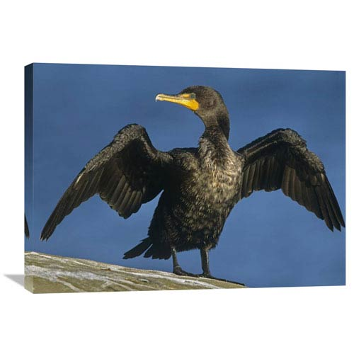 Global Gallery Double Crested Cormorant Drying Its Wings, North America By Tim Fitzharris, 24 X 32-Inch Wall Art
