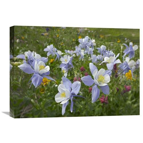 Global Gallery Colorado Blue Columbine Flowers, American Basin, Colorado By Tim Fitzharris, 18 X 24-Inch Wall Art