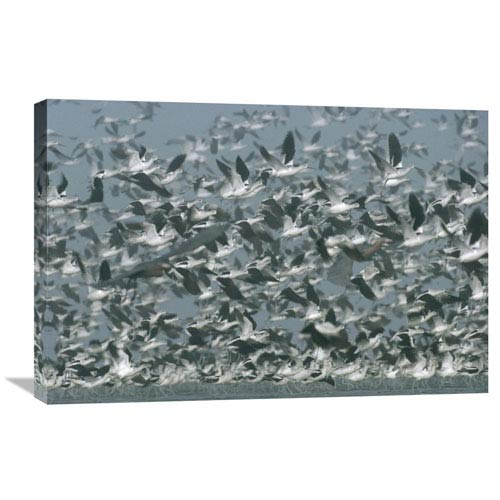Global Gallery American Avocet Flock Erupting Into Flight, North America By Tim Fitzharris, 20 X 30-Inch Wall Art