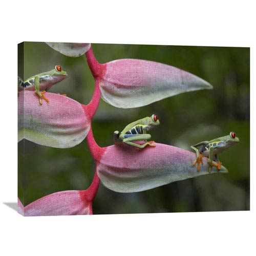 Global Gallery Red Eyed Tree Frog Three Sitting On Heliconia, Costa Rica By Tim Fitzharris, 24 X 32-Inch Wall Art