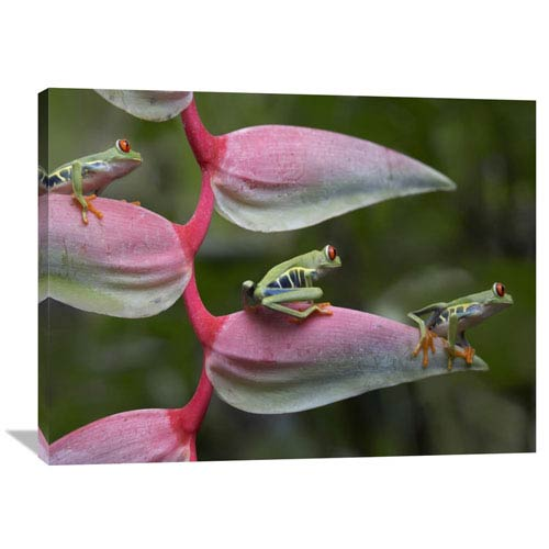 Global Gallery Red Eyed Tree Frog Three Sitting On Heliconia, Costa Rica By Tim Fitzharris, 30 X 40-Inch Wall Art