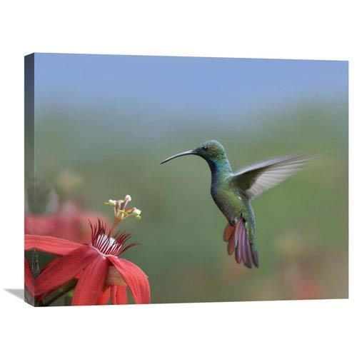 Global Gallery Green Breasted Mango Hummingbird, Male Foraging, Costa Rica By Tim Fitzharris, 22 X 28-Inch Wall Art