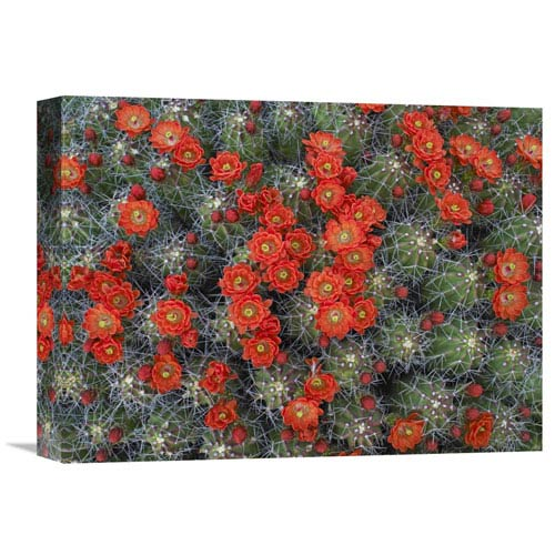 Global Gallery Claret Cup Cactus Detail Of Flowers In Bloom, North America By Tim Fitzharris, 12 X 16-Inch Wall Art