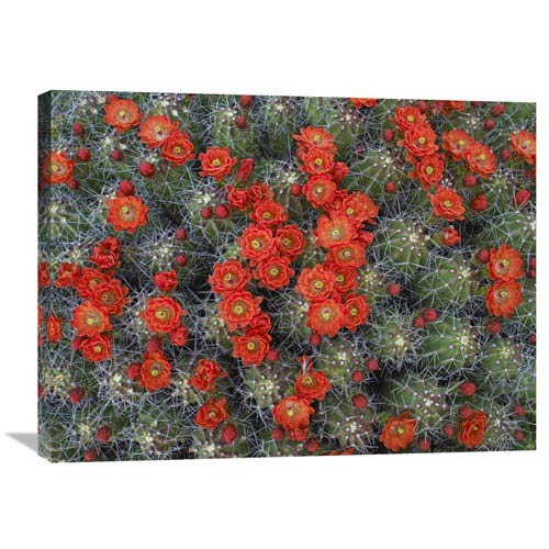 Global Gallery Claret Cup Cactus Detail Of Flowers In Bloom, North America By Tim Fitzharris, 24 X 32-Inch Wall Art
