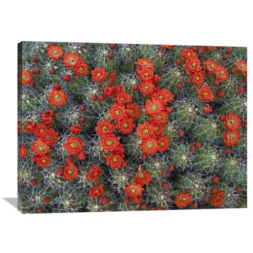 Global Gallery Claret Cup Cactus Detail Of Flowers In Bloom, North America By Tim Fitzharris, 30 X 40-Inch Wall Art