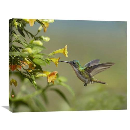 Global Gallery Andean Emerald Hummingbird Feeling On Yellow Flower, Ecuador By Tim Fitzharris, 22 X 28-Inch Wall Art