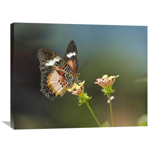 Global Gallery Nymphalid Butterfly Feeding On Flower Nectar, Native To Asia By Tim Fitzharris, 24 X 32-Inch Wall Art