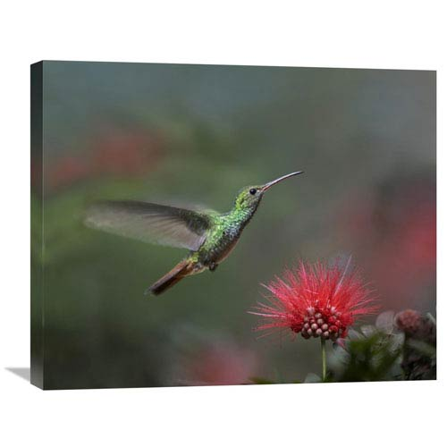 Global Gallery Rufous Tailed Hummingbird At Fairy Duster Flower, Costa Rica By Tim Fitzharris, 22 X 28-Inch Wall Art