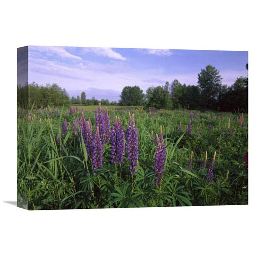 Global Gallery Lupine In Meadow Near Crescent Beach, British Columbia, Canada By Tim Fitzharris, 12 X 16-Inch Wall Art