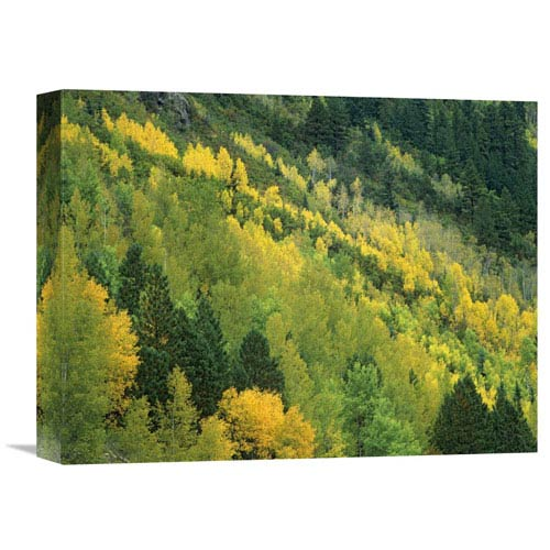 Global Gallery Aspen Grove In Fall Colors, Gunnison National Forest, Colorado By Tim Fitzharris, 12 X 16-Inch Wall Art