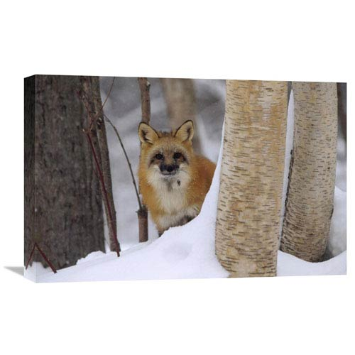 Global Gallery Red Fox Looking Out From Behind Trees In A Snowy Forest, Montana By Tim Fitzharris, 16 X 24-Inch Wall Art